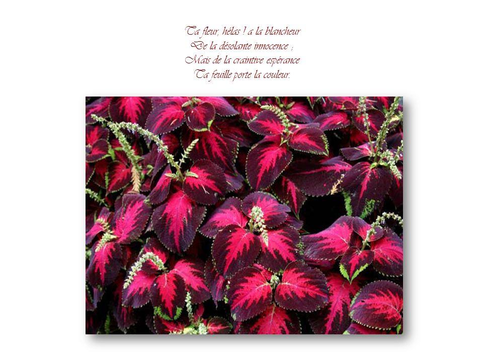 Ta fleur, hélas ! a la blancheur De la désolante innocence ;