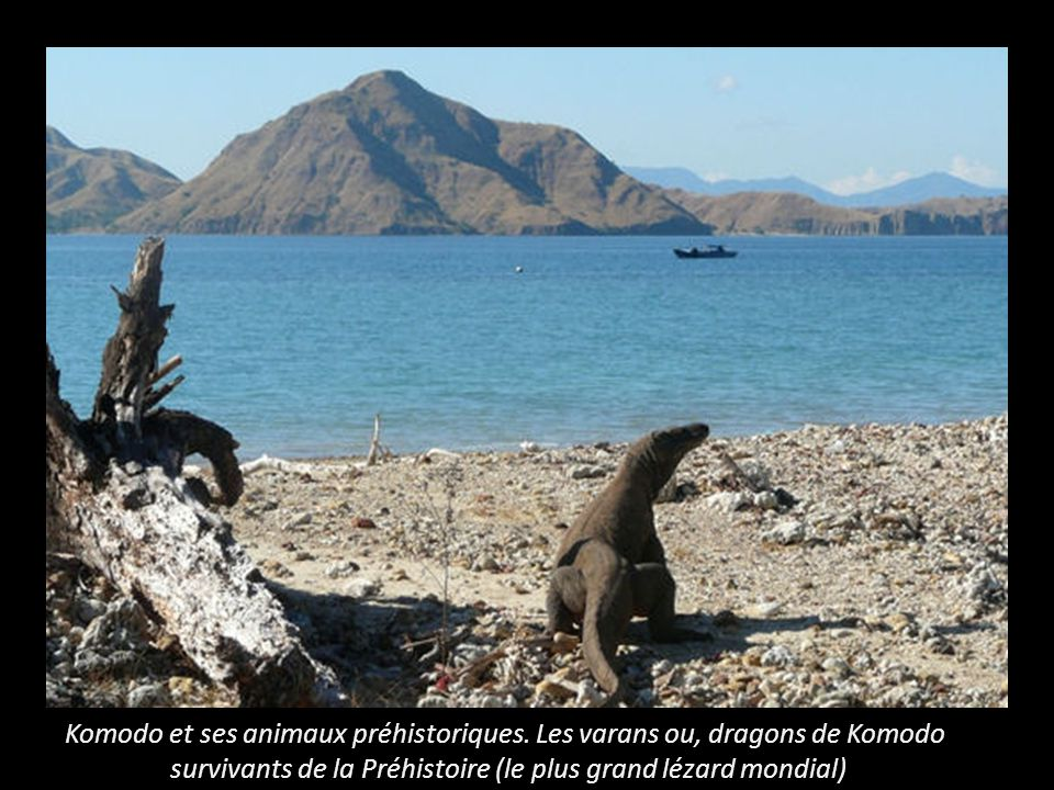 Komodo et ses animaux préhistoriques. Les varans ou, dragons de Komodo