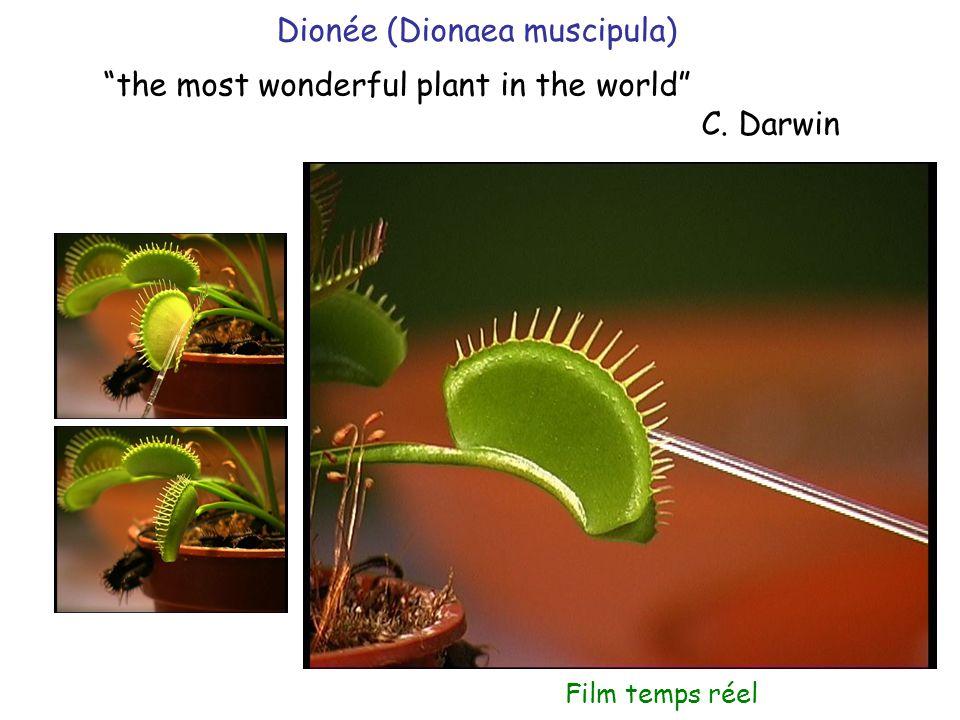 Dionée (Dionaea muscipula)