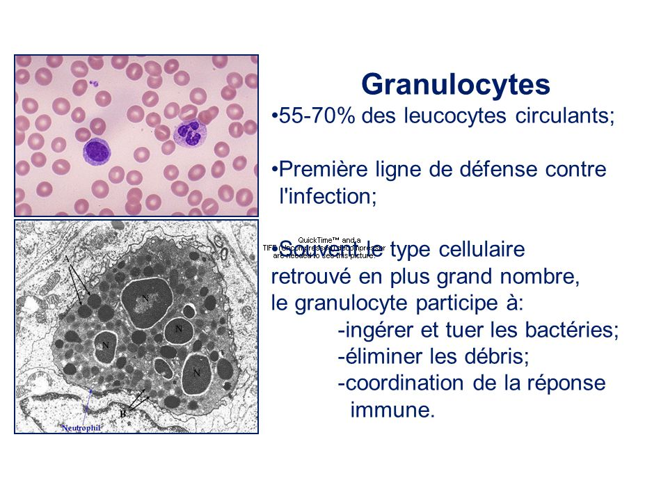 Granulocytes •55-70% des leucocytes circulants;
