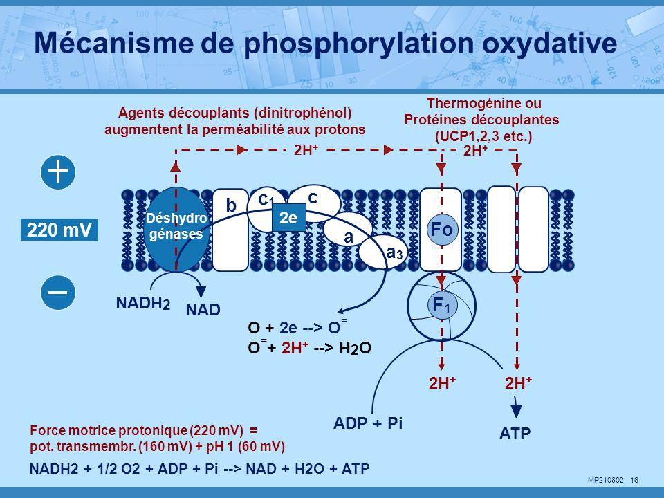 Protéines découplantes