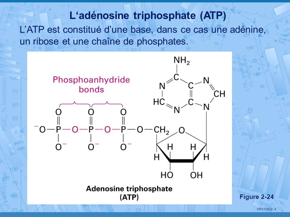 L'adénosine triphosphate (ATP)