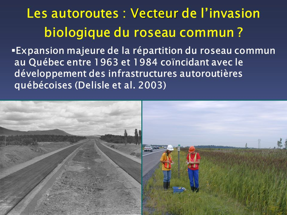 Les autoroutes : Vecteur de l'invasion biologique du roseau commun