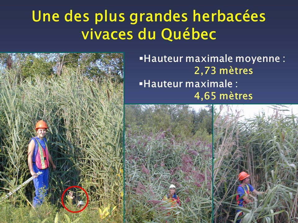 Une des plus grandes herbacées vivaces du Québec