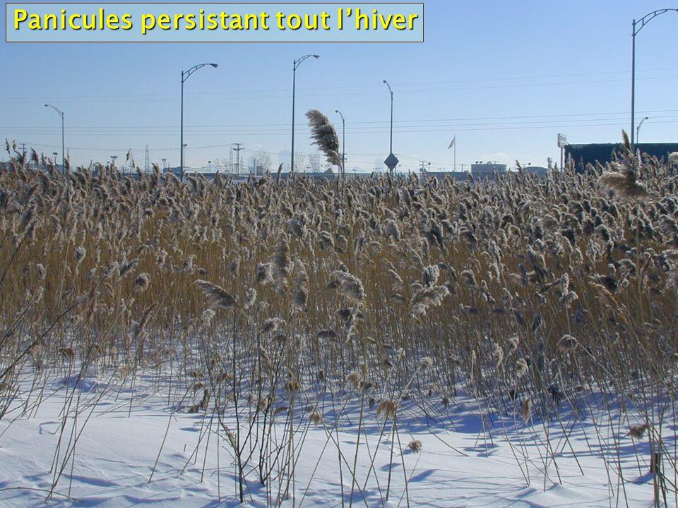 Panicules persistant tout l'hiver