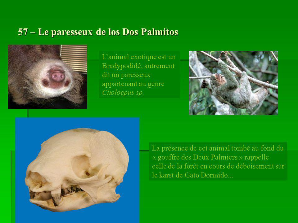 57 – Le paresseux de los Dos Palmitos