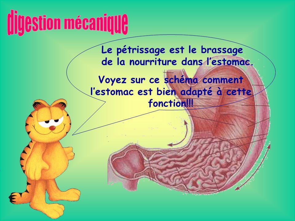 digestion mécanique Le pétrissage est le brassage de la nourriture dans l'estomac.