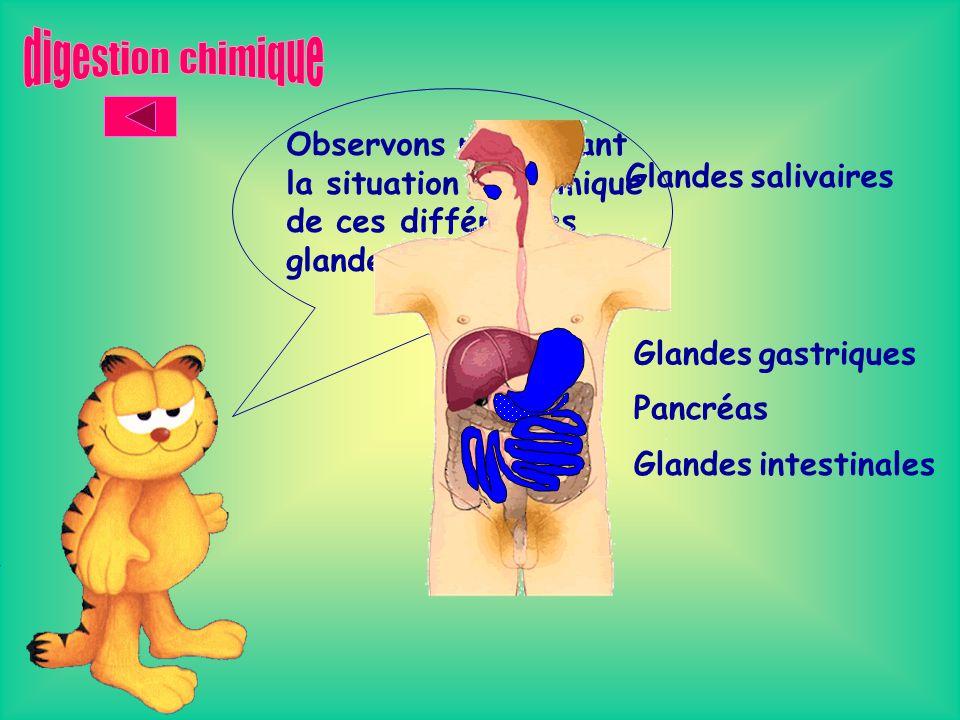 digestion chimique Observons maintenant la situation anatomique de ces différentes glandes… Glandes salivaires.