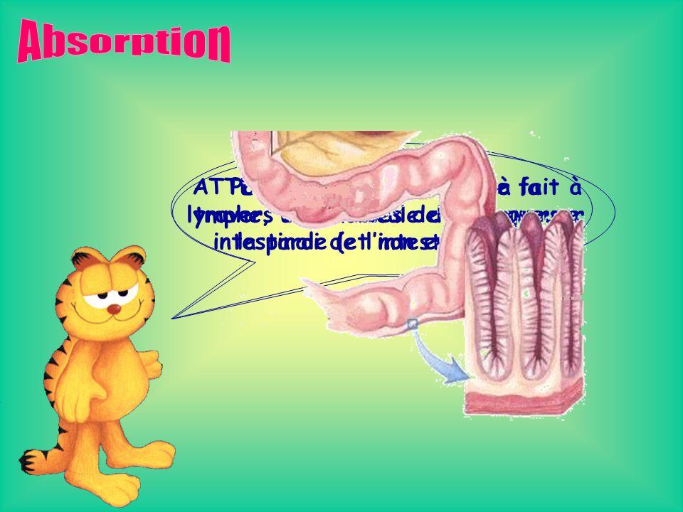 Absorption Pour arriver au sang ou à la lymphe, une molécule doit traverser la paroi de l'intestin grêle.