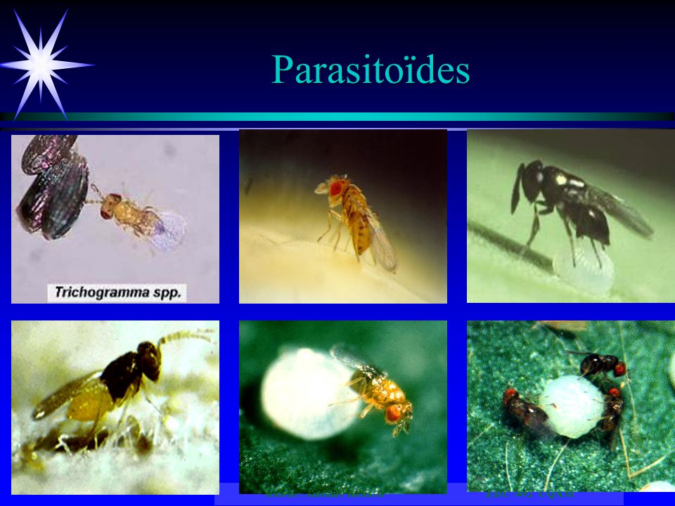 Parasitoïdes