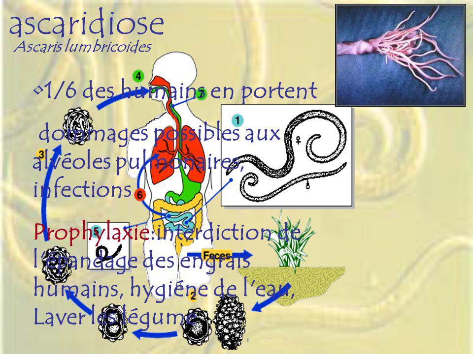 ascaridiose 1/6 des humains en portent