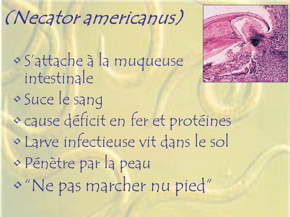 (Necator americanus) Ne pas marcher nu pied