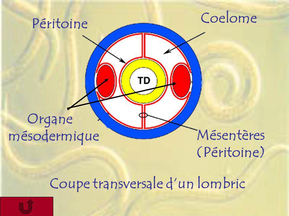 Coelome Péritoine Organe mésodermique Mésentères (Péritoine) Coupe transversale d'un lombric