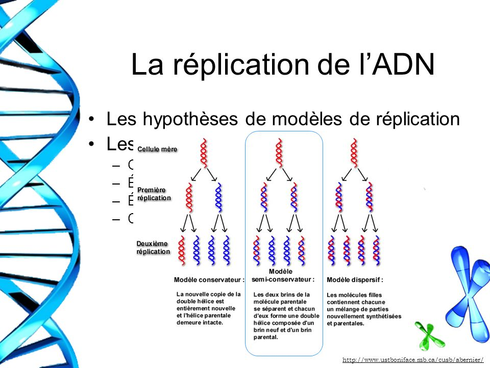 La réplication de l'ADN