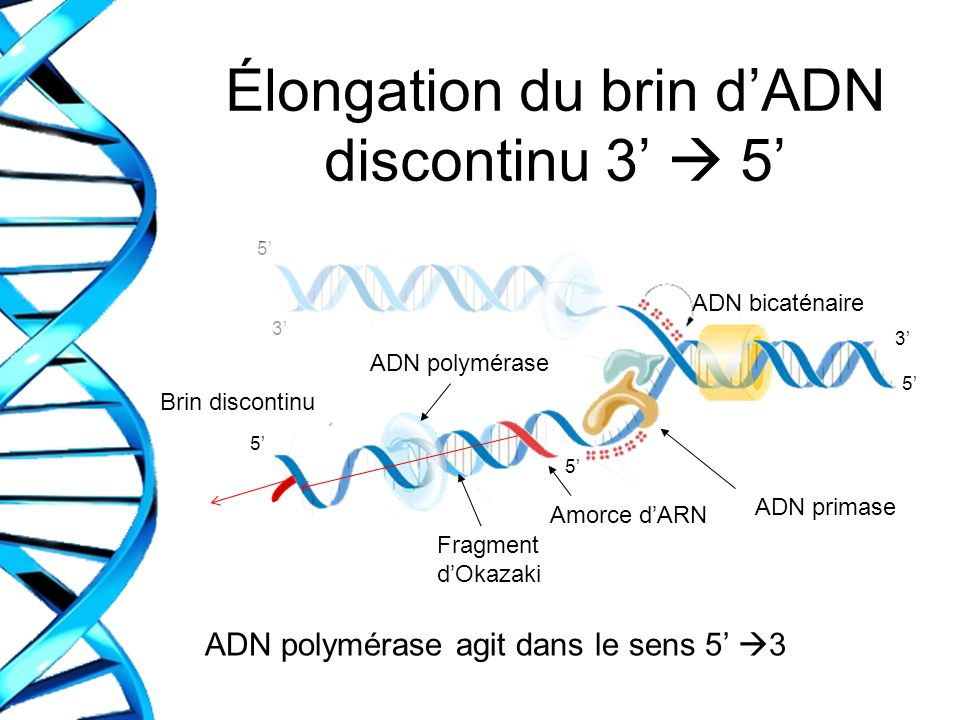 Élongation du brin d'ADN discontinu 3'  5'