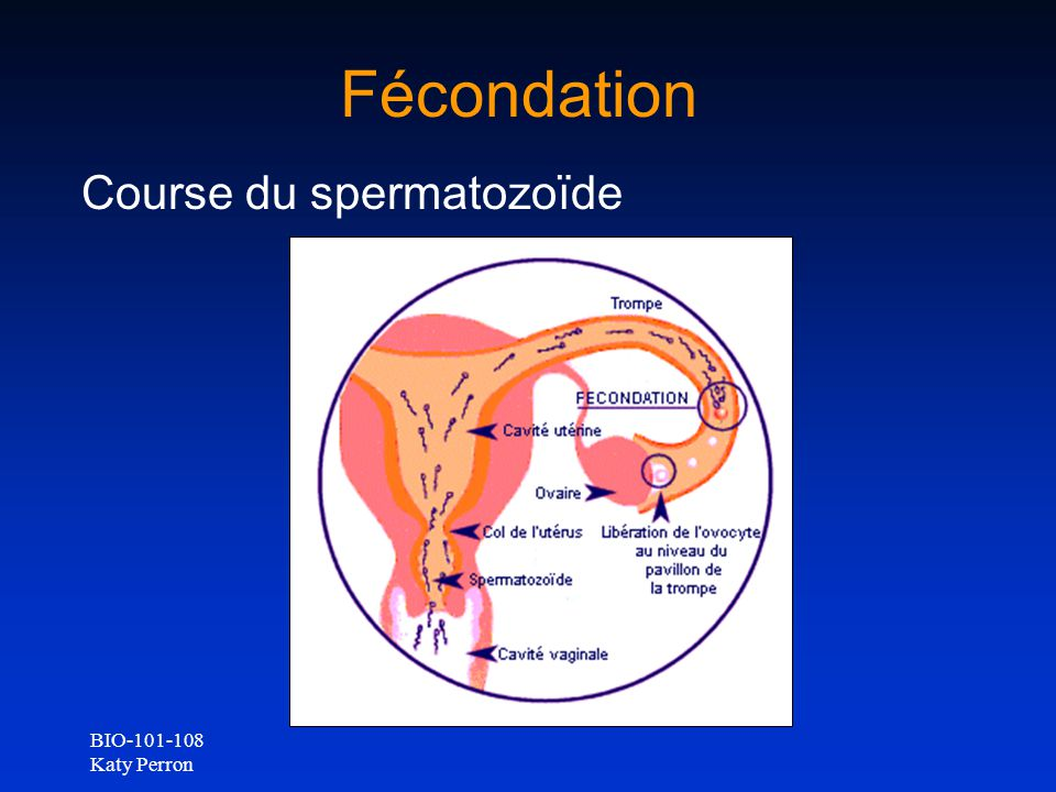 Fécondation Course du spermatozoïde BIO-101-108 Katy Perron