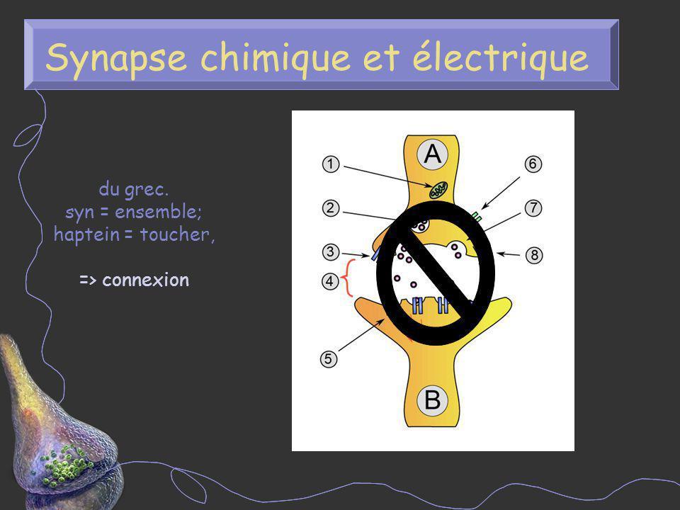 Synapse chimique et électrique