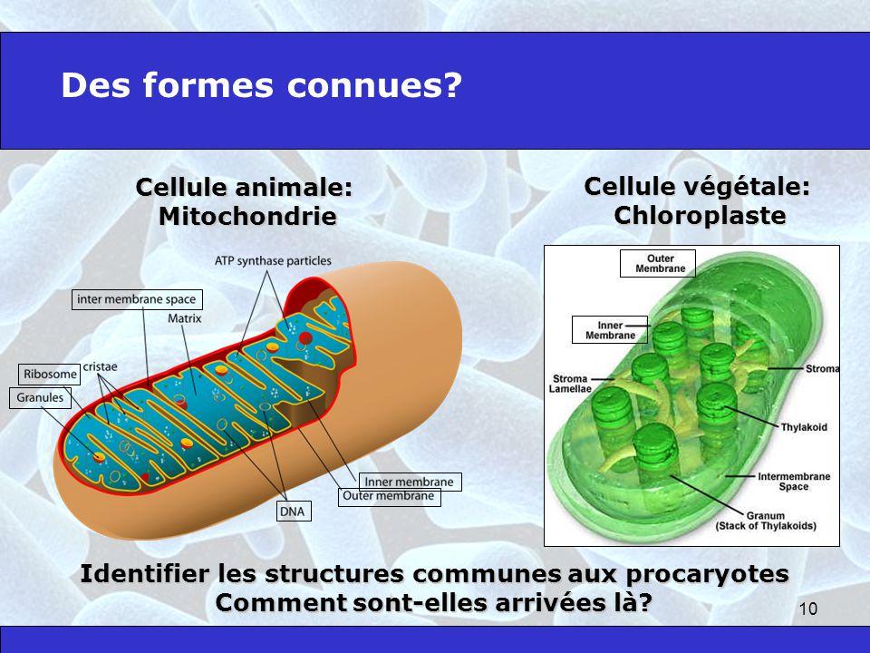 Des formes connues Cellule animale: Cellule végétale: Mitochondrie