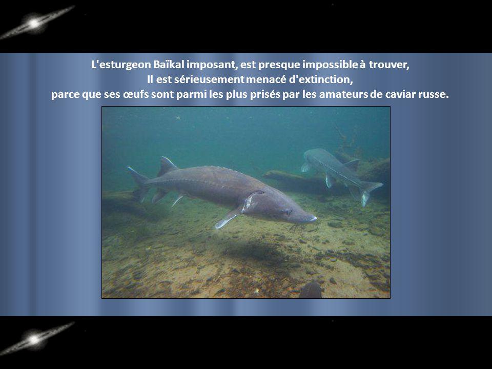 L esturgeon Baïkal imposant, est presque impossible à trouver,