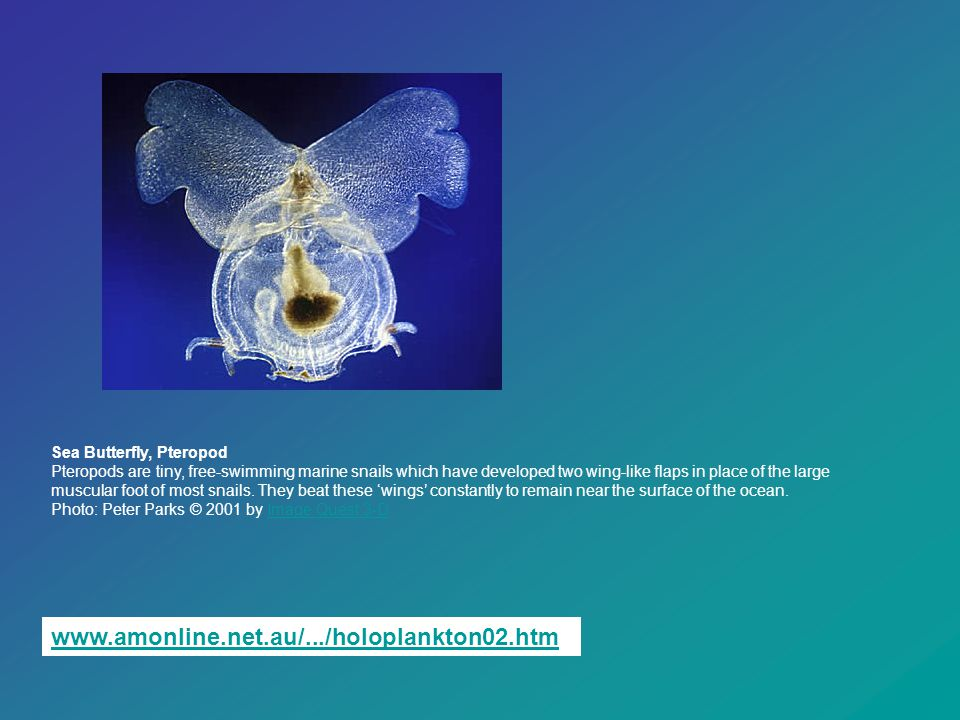 Sea Butterfly, Pteropod Pteropods are tiny, free-swimming marine snails which have developed two wing-like flaps in place of the large muscular foot of most snails. They beat these 'wings' constantly to remain near the surface of the ocean. Photo: Peter Parks © 2001 by Image Quest 3-D