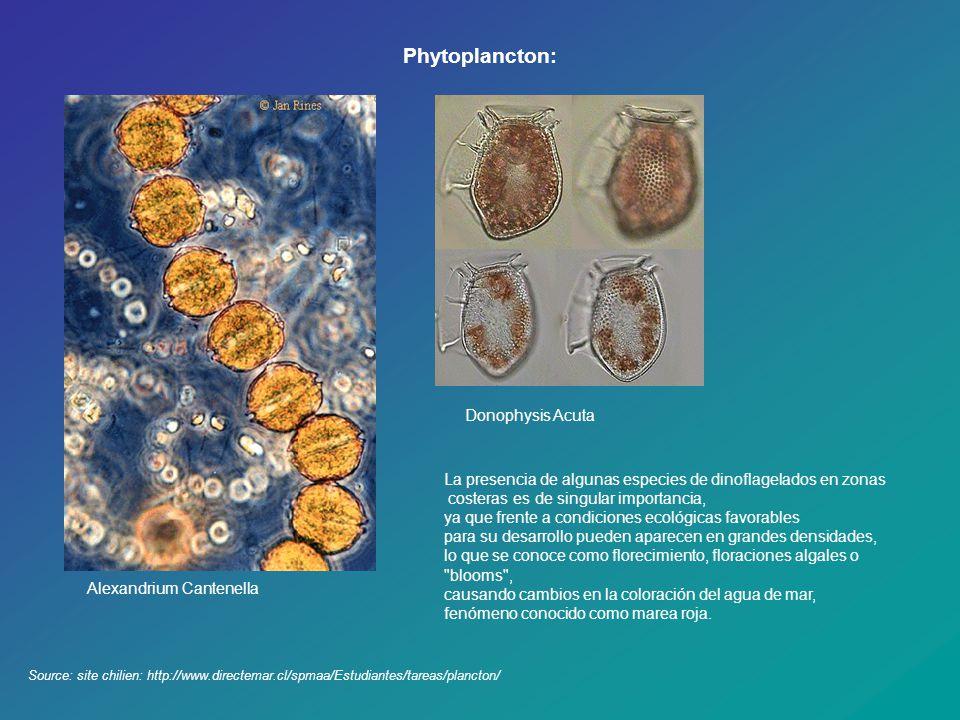 Phytoplancton: Donophysis Acuta
