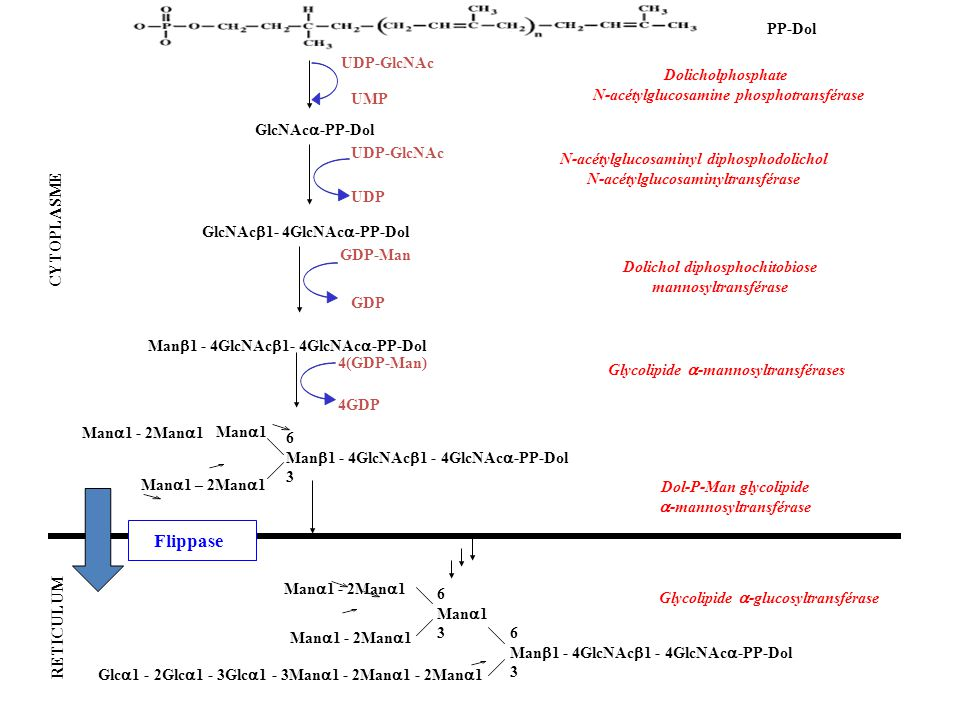 Flippase PP-Dol UDP-GlcNAc Dolicholphosphate
