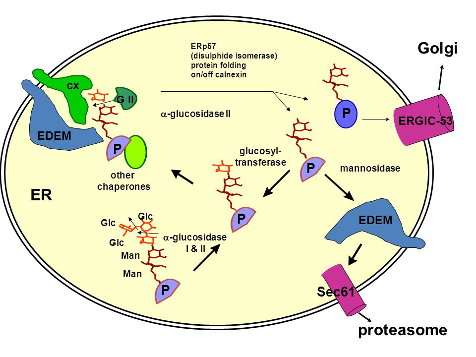 Golgi ER proteasome P P P P P Sec61 cx ERGIC-53 EDEM EDEM G II