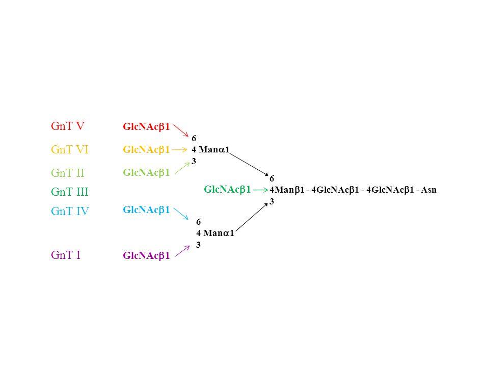 GnT V GnT VI GnT II GnT III GnT IV GnT I GlcNAcb1 GlcNAcb1 GlcNAcb1 6