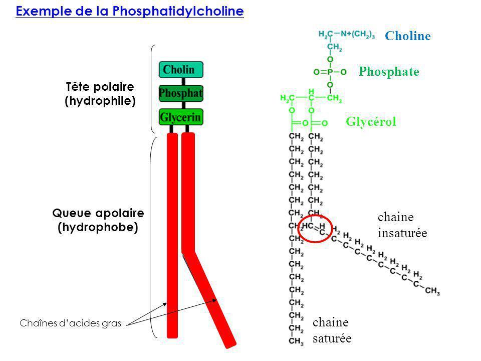 Exemple de la Phosphatidylcholine