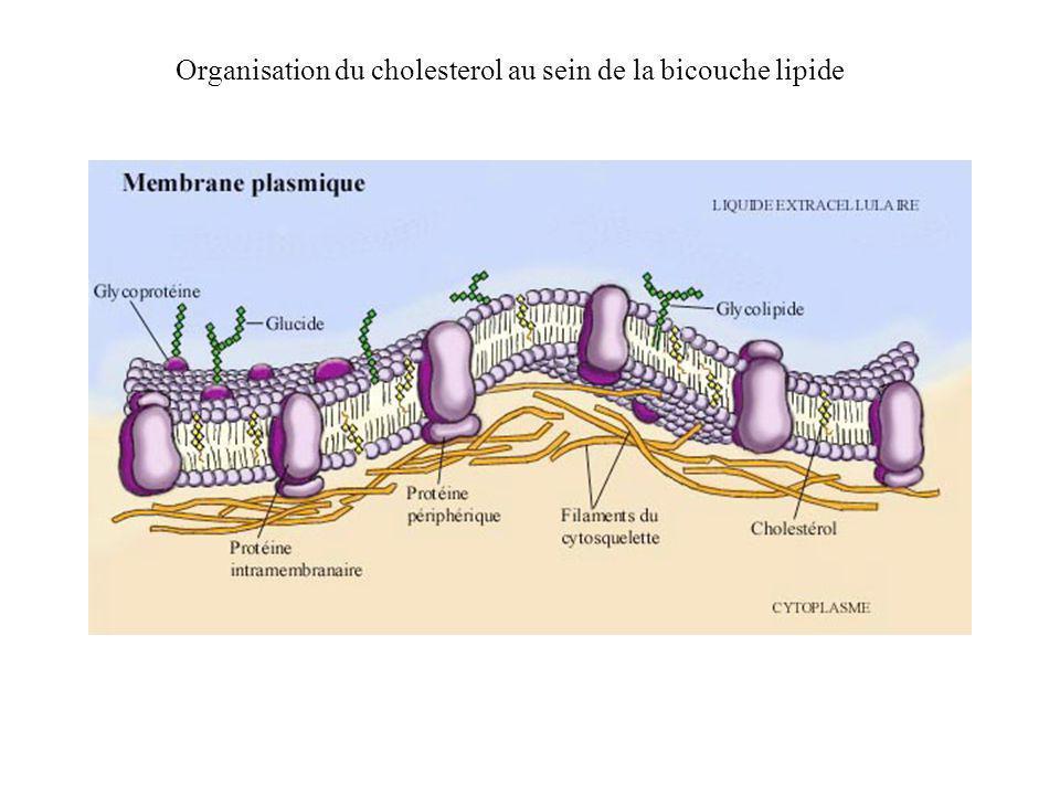 Organisation du cholesterol au sein de la bicouche lipide