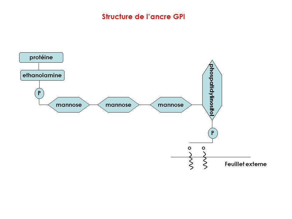 Structure de l'ancre GPI