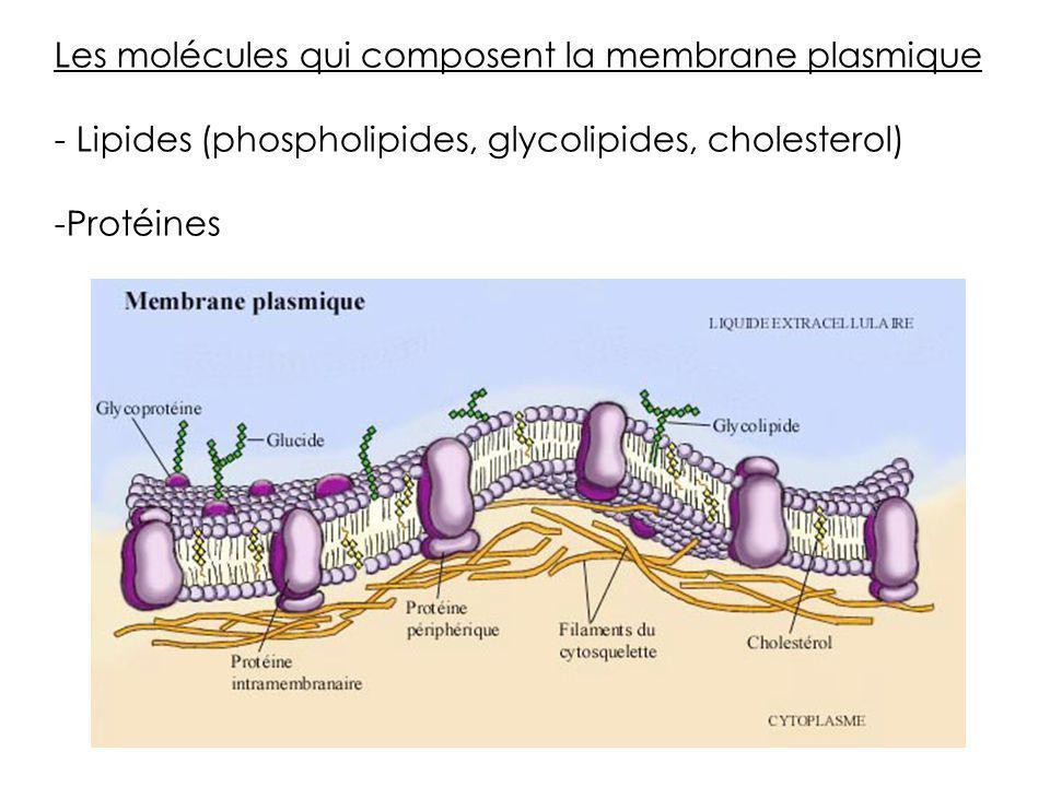 Les molécules qui composent la membrane plasmique