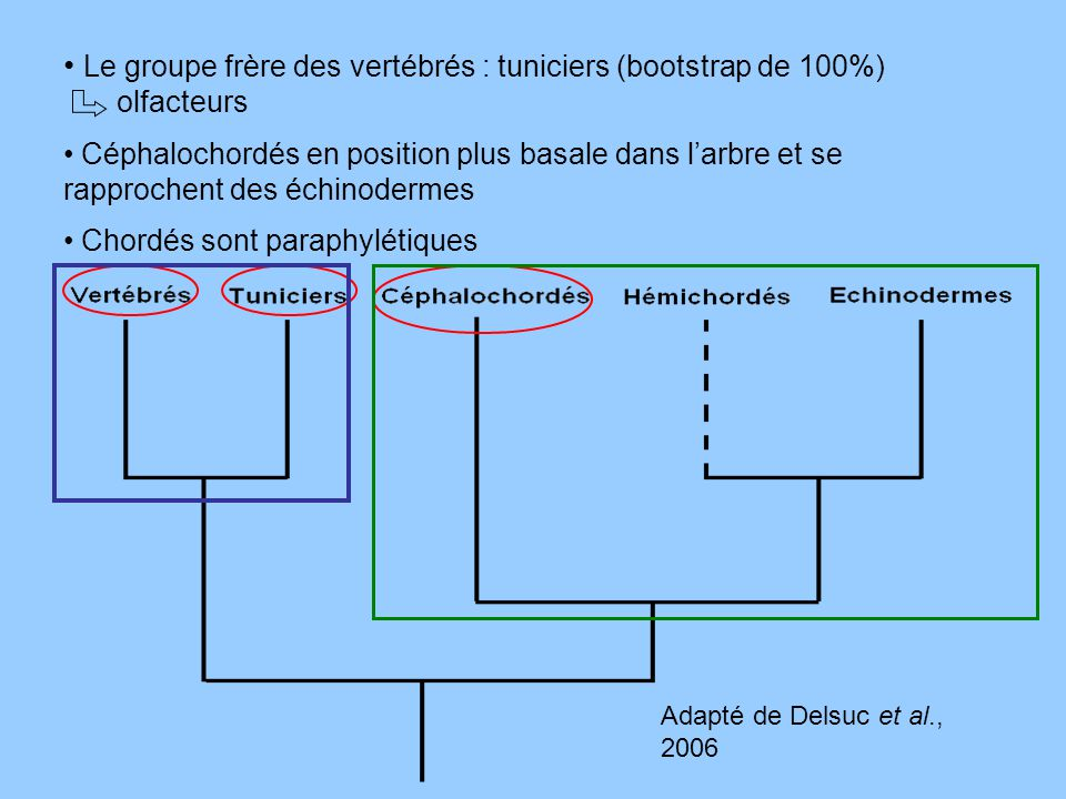 Le groupe frère des vertébrés : tuniciers (bootstrap de 100%)