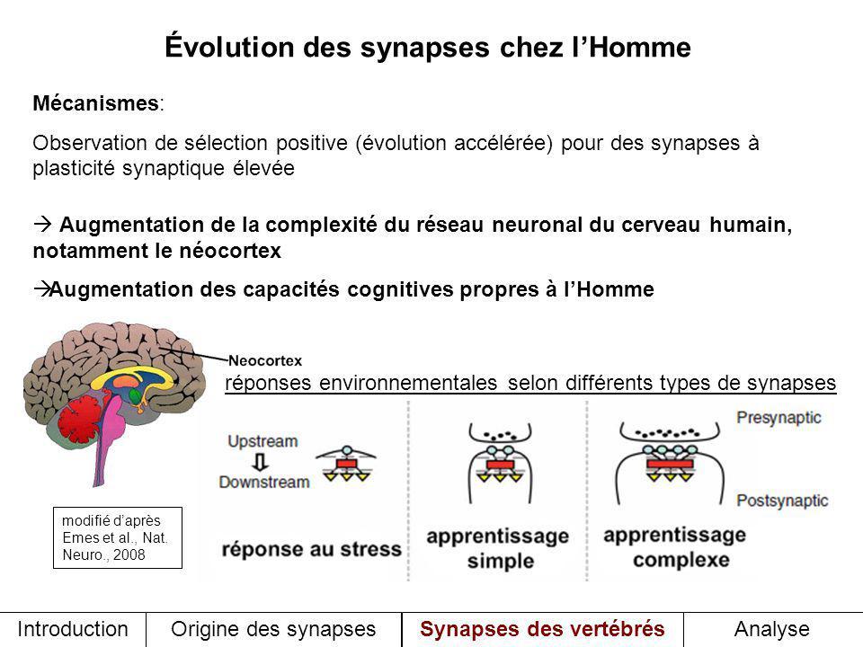 Évolution des synapses chez l'Homme