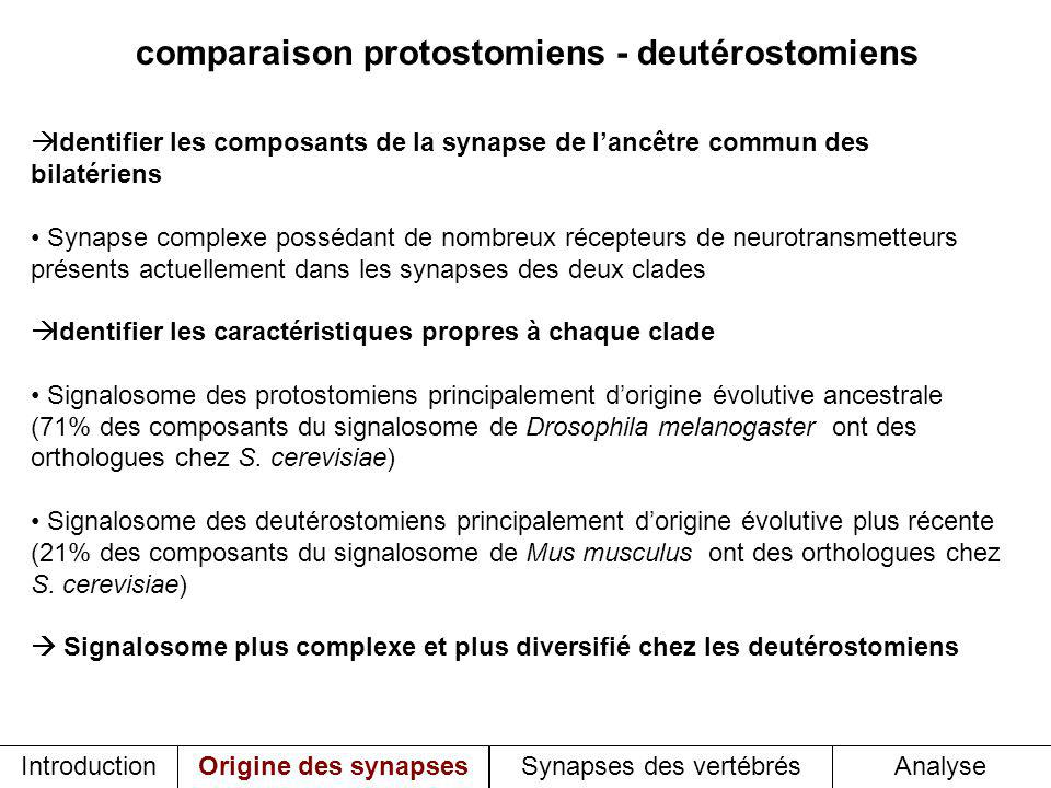 comparaison protostomiens - deutérostomiens