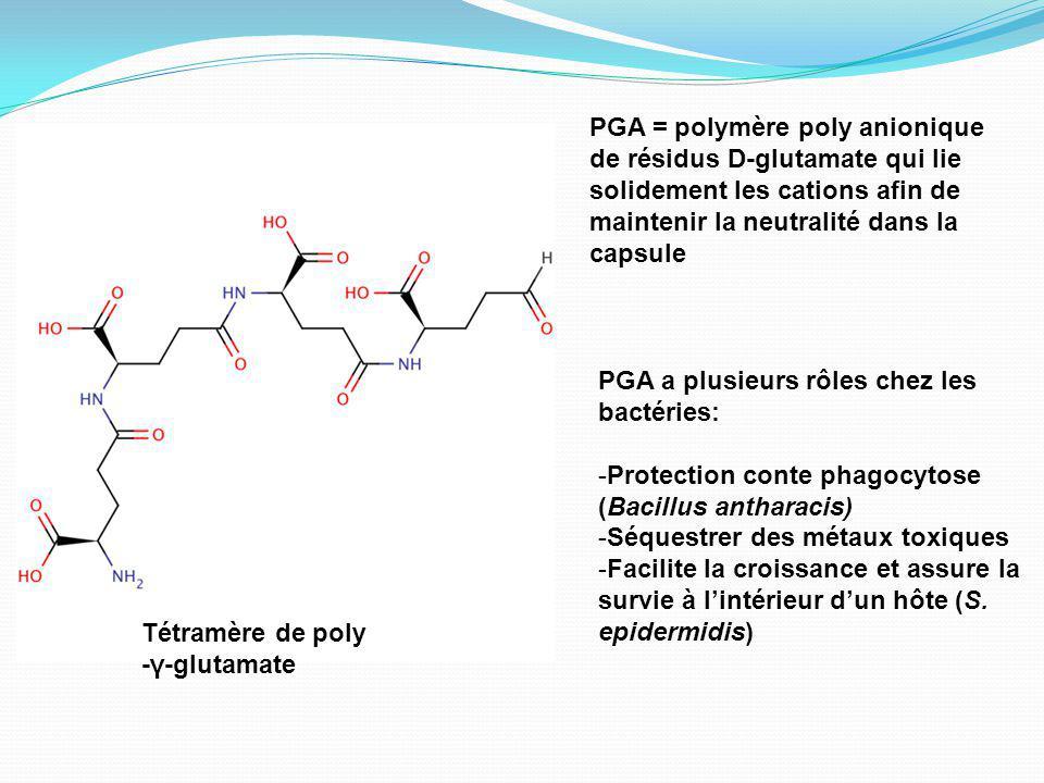 PGA = polymère poly anionique de résidus D-glutamate qui lie solidement les cations afin de maintenir la neutralité dans la capsule