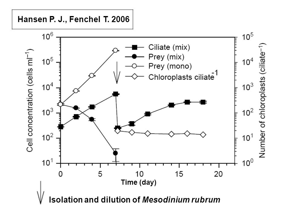 Isolation and dilution of Mesodinium rubrum