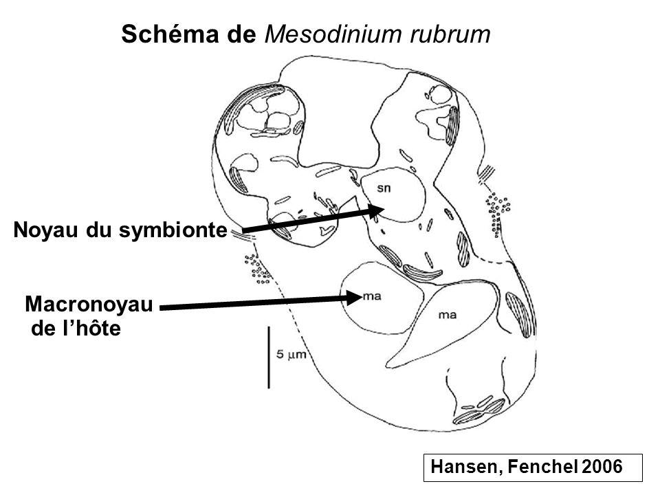 Schéma de Mesodinium rubrum