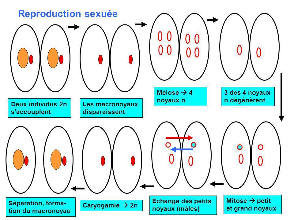 Reproduction sexuée Méiose  4 noyaux n 3 des 4 noyaux n dégénèrent