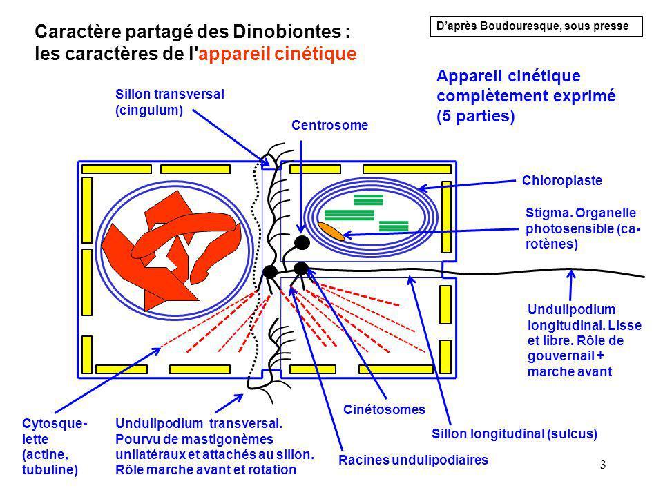 Caractère partagé des Dinobiontes : les caractères de l appareil cinétique