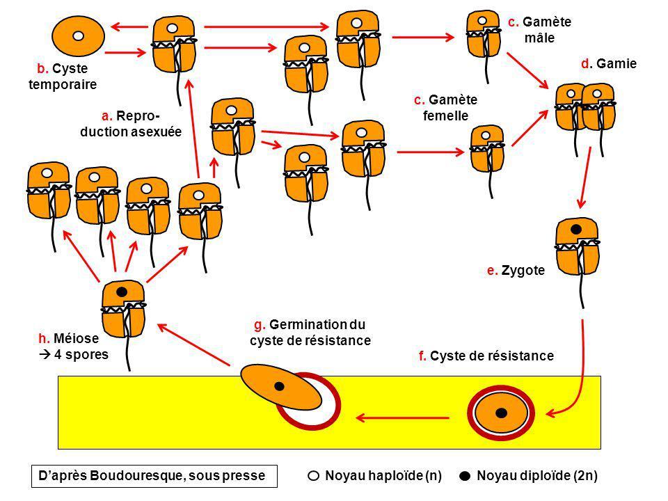 a. Repro-duction asexuée g. Germination du cyste de résistance