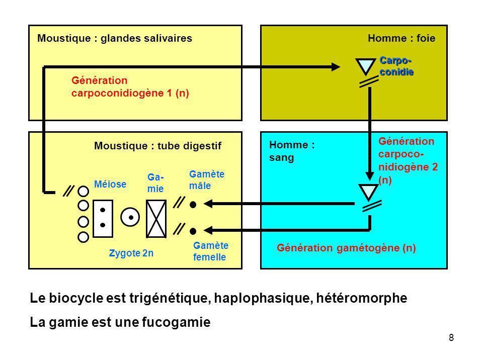 Le biocycle est trigénétique, haplophasique, hétéromorphe