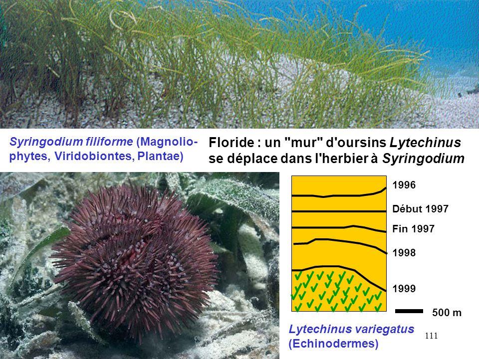 Syringodium filiforme (Magnolio-phytes, Viridobiontes, Plantae)