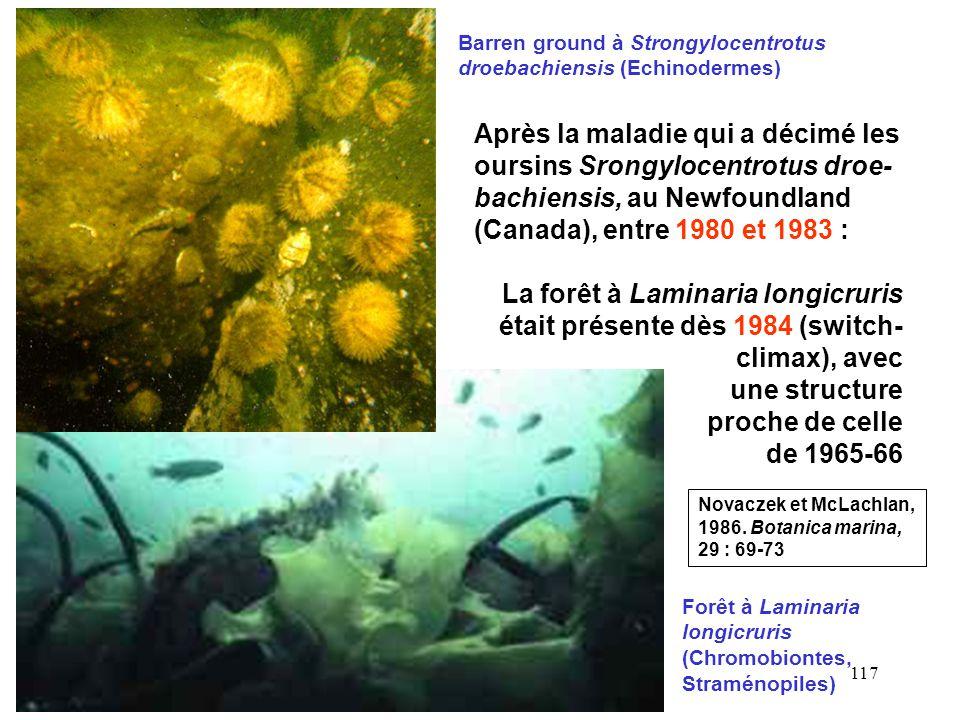 Barren ground à Strongylocentrotus droebachiensis (Echinodermes)
