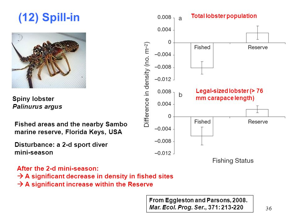 (12) Spill-in Spiny lobster Palinurus argus
