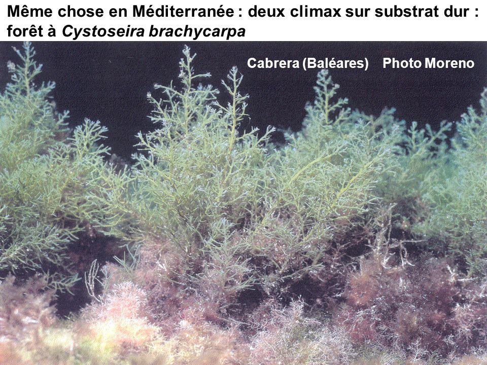 Même chose en Méditerranée : deux climax sur substrat dur : forêt à Cystoseira brachycarpa