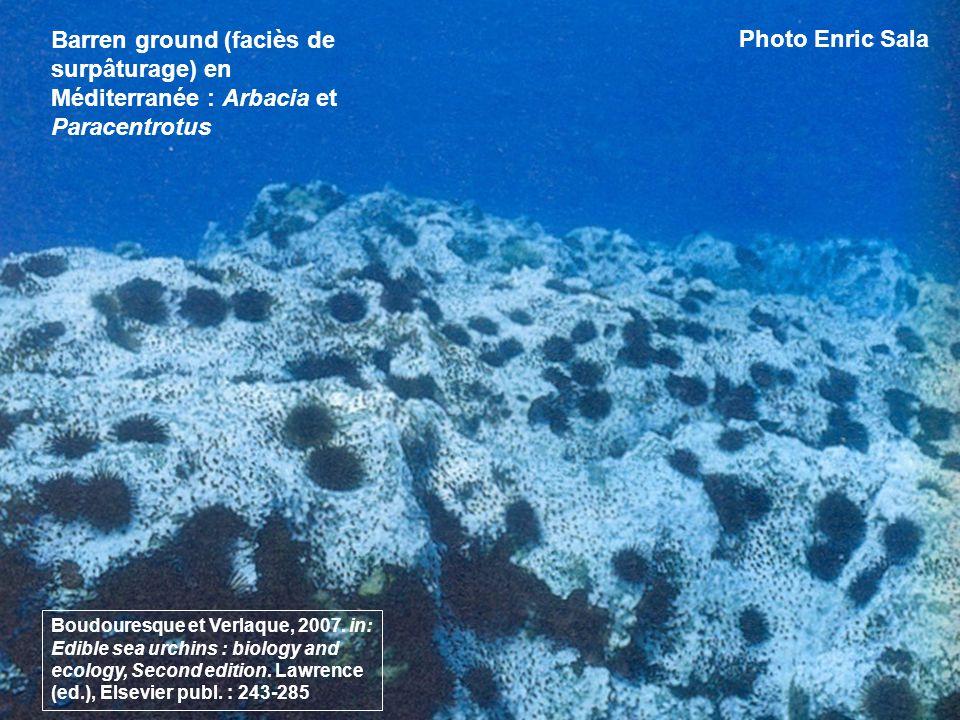 Barren ground (faciès de surpâturage) en Méditerranée : Arbacia et Paracentrotus