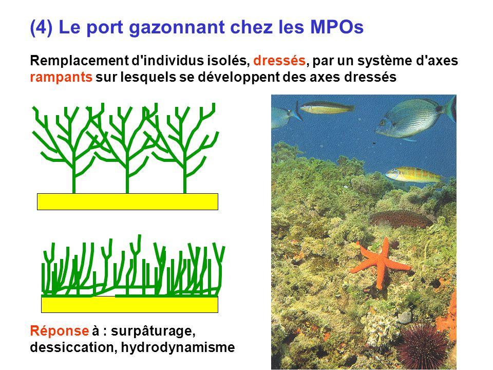 (4) Le port gazonnant chez les MPOs