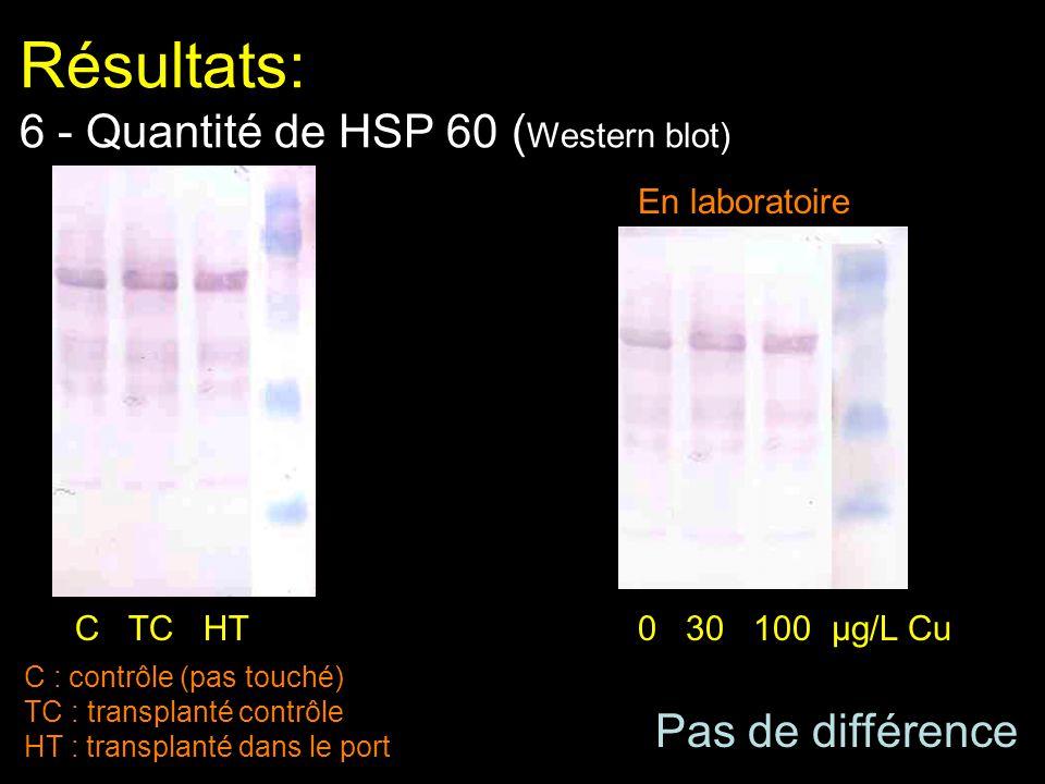 Résultats: 6 - Quantité de HSP 60 (Western blot)