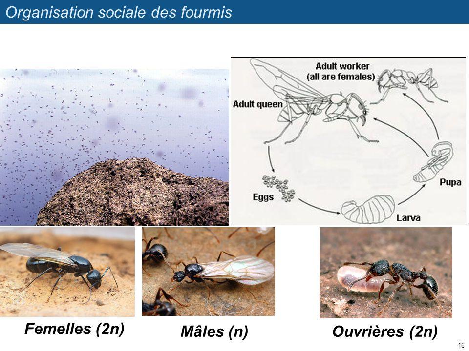 Organisation sociale des fourmis